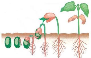 Proses Pertumbuhan dan Perkembangan pada Tumbuhan Lengkap