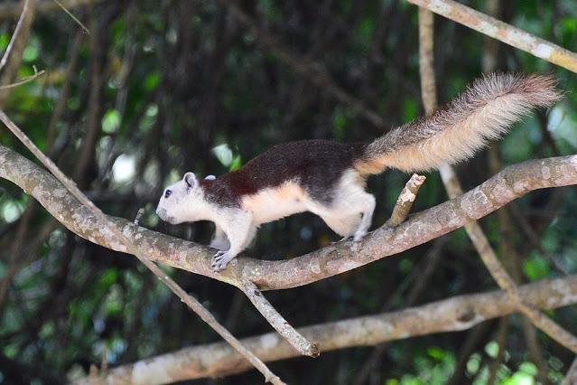 Callosciurus finlaysonii