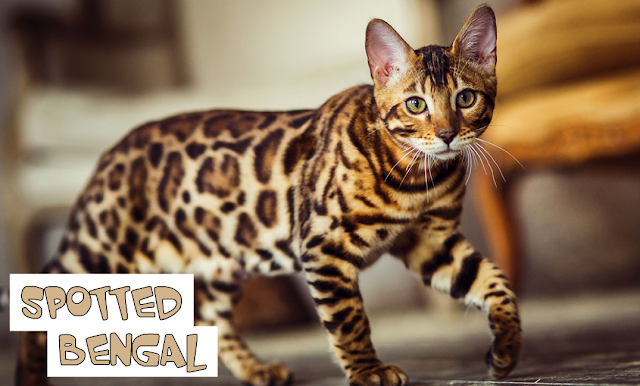 Kucing Bengal Spotted