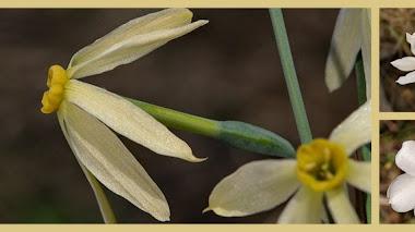 Narcisos ibéricos en Flora Silvestre del Mediterráneo occidental