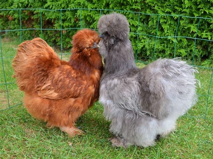 En değerli tavuk ırkları listesi Red Bearded Habeş