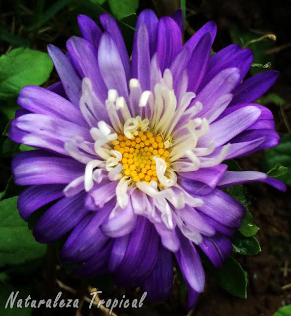 Variedad púrpura de la inflorescencia de la Reina Margarita o Extraña Rosa, Callistephus chinensis