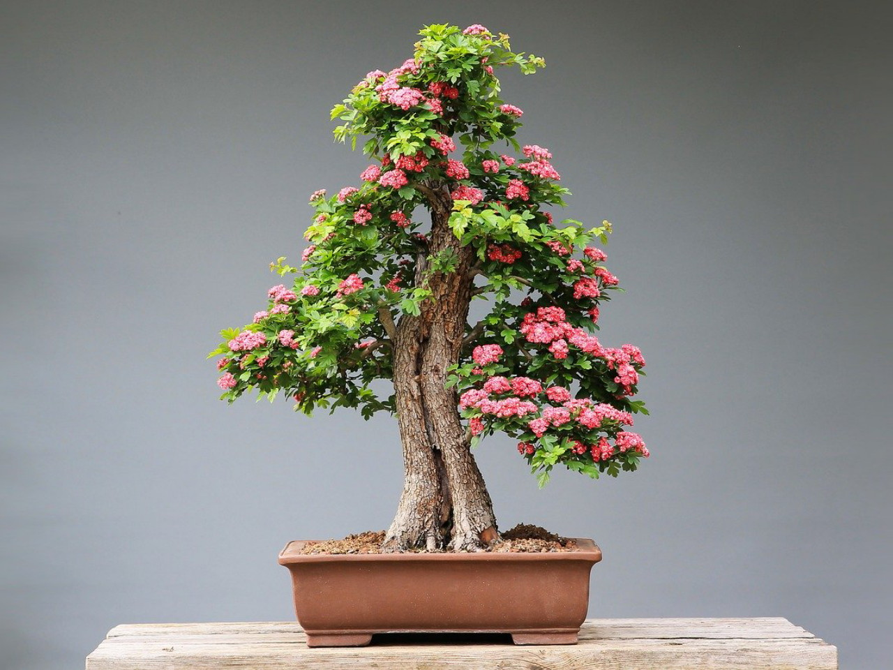 tips-membentuk-bonsai.jpg