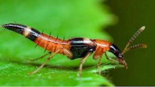Apa Itu Semut Charlie dan Tomcat
