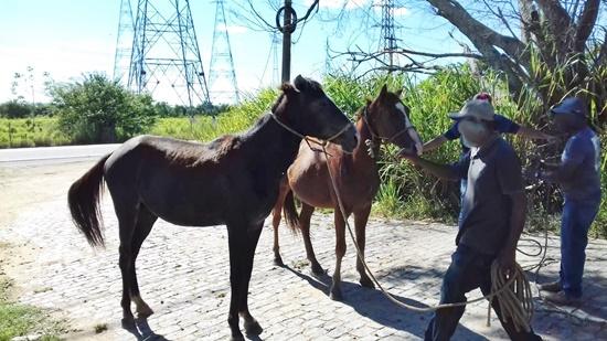 CCZ intensifica as apreensões de animais soltos nas vias públicas