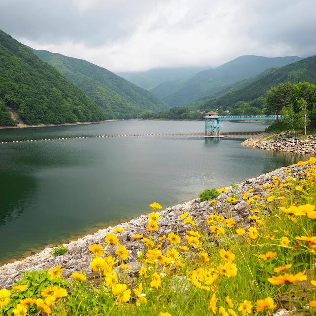 広瀬湖 黄色い花