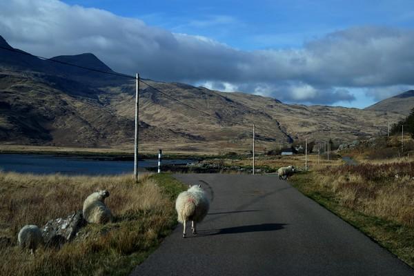 écosse highlands île mull route moutons