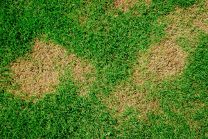 How to Control Brown Patch Disease In Lawn