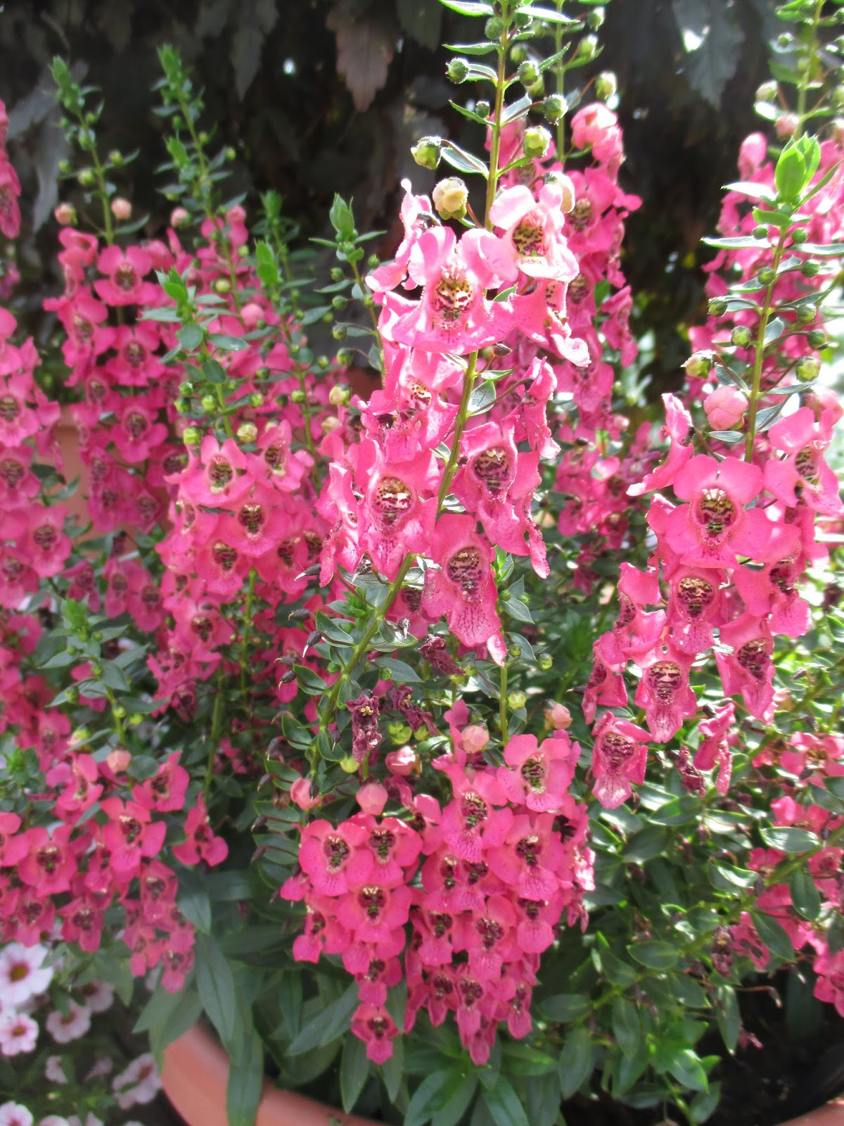 Meritorious Summer Snapdragons Angelonia Rotary