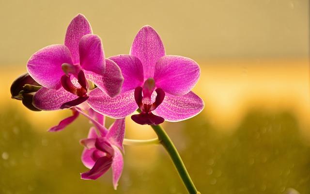 chăm sóc hoa lan hồ điệp sau khi nở hoa