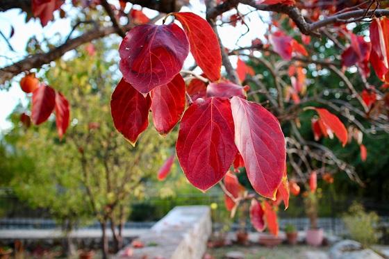 drevo-kakija-jeseni