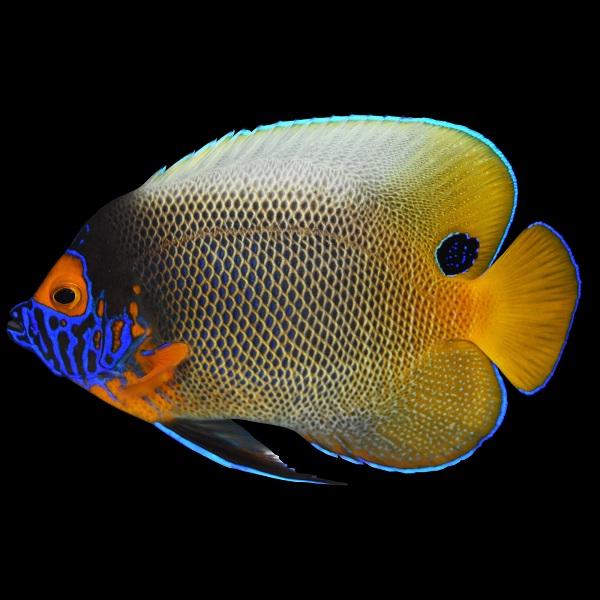 Blueface Angelfish - Loài cá khá thú vị trong số 100.000 thủy sinh vật sinh sống tại S.E.A Aquarium