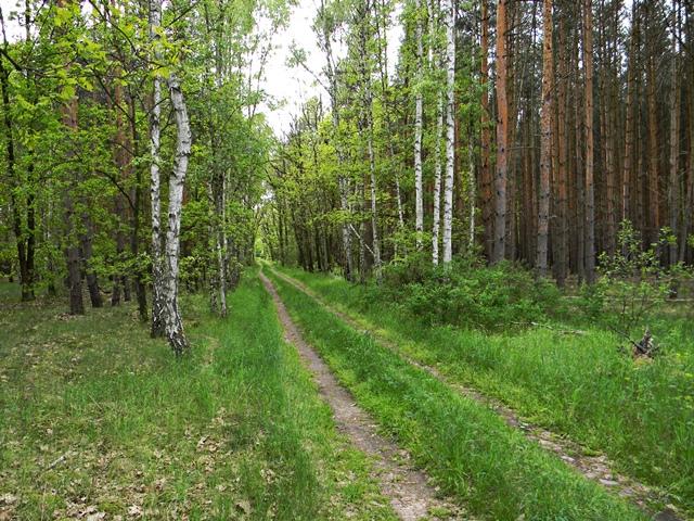 brzozy, sosny, ścieżka, droga leśna