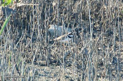 Corriol gros (Charadrius hiaticula)