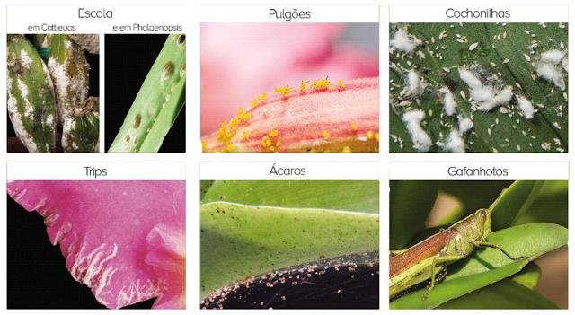 orquideas pragas2