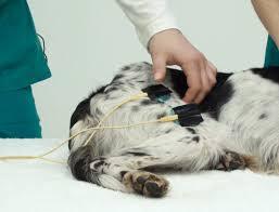 tratamento eletroterapia em cães