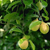 Medicinal benefits of Nutmeg | Myristica fragrans Houtt
