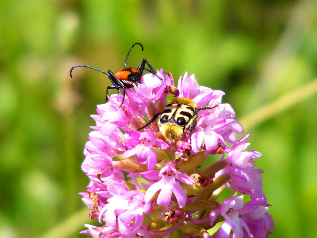 Stictoleptura cordigera and Trichius gallicus on Anacamptis pyramidalis.  Indre et Loire, France. Photographed by Susan Walter. Tour the Loire Valley with a classic car and a private guide.