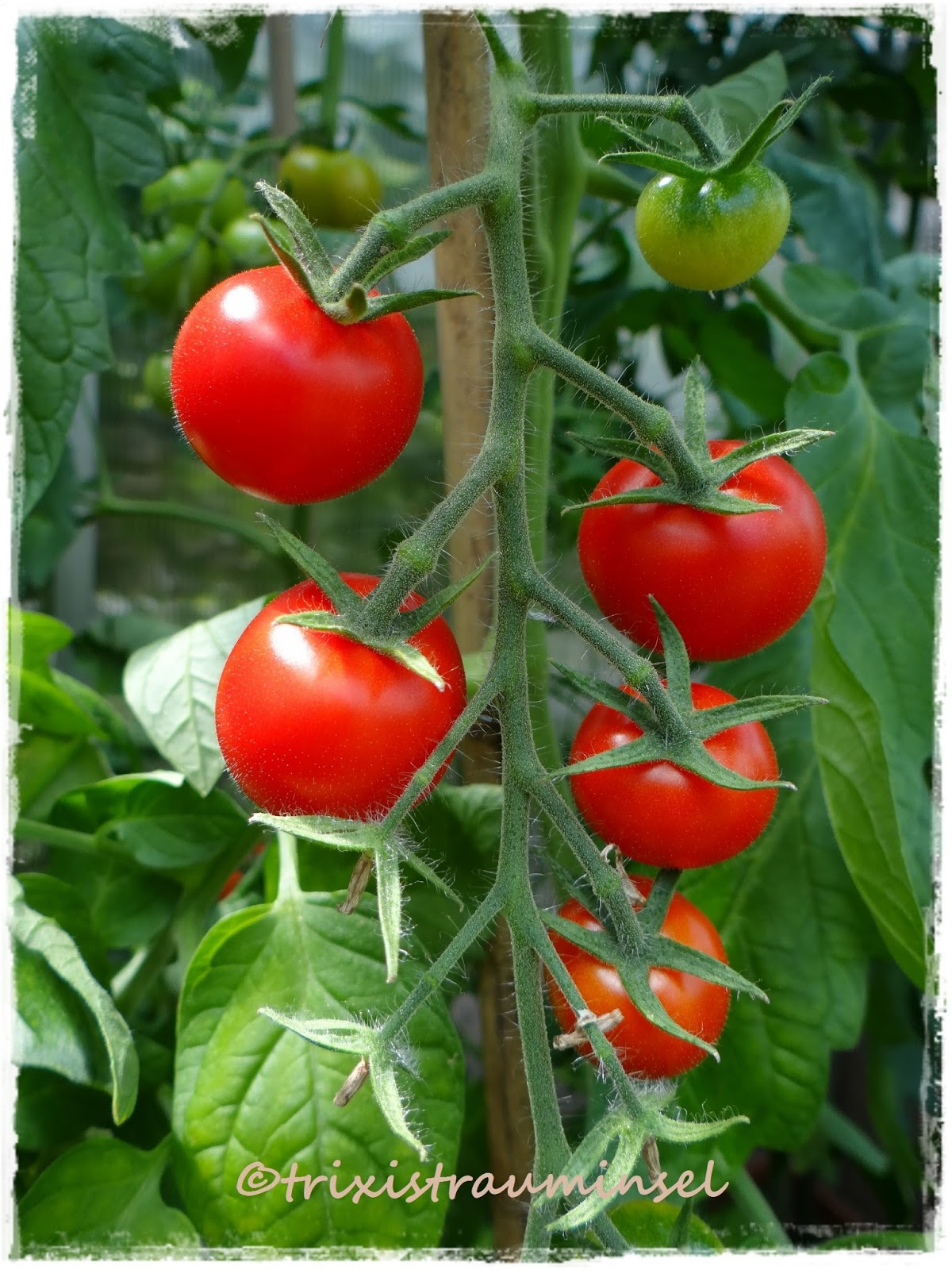 trixistrauminsel manche m gen 39 s hei tomaten und zucchinis. Black Bedroom Furniture Sets. Home Design Ideas