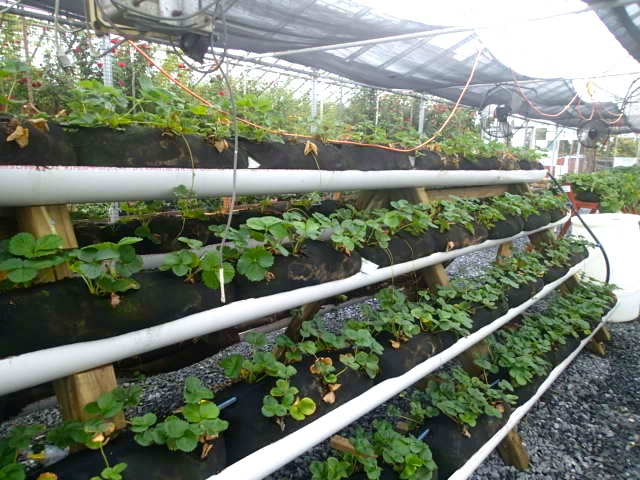 Green Stem Learning Strawberries Ripe For Inquiry