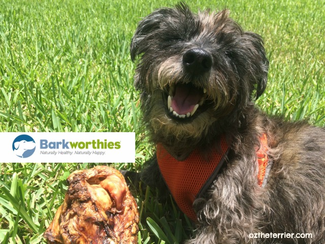 Oz the Terrier Barkworthies Chews Rescue program