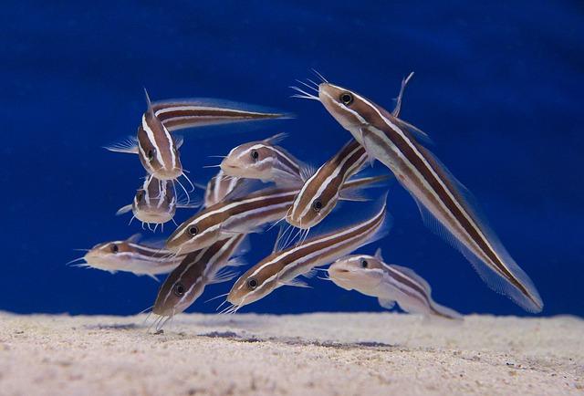 Ikan Usat Adalah Ikan Pancing Yang Boleh Di Makan Blog Mancing