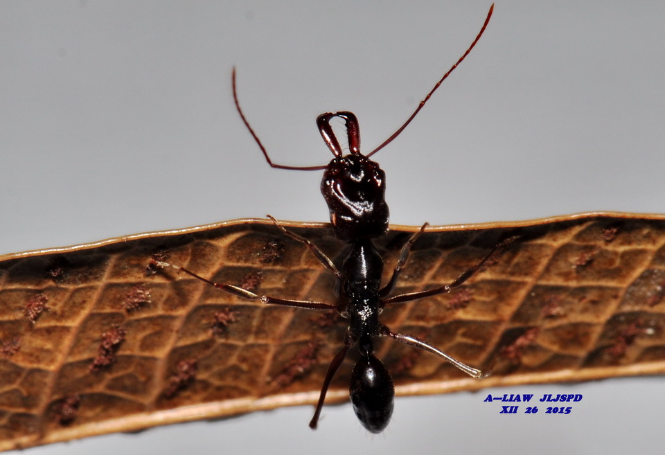 A---LIAW的自然生態記事簿: 高山鋸針蟻