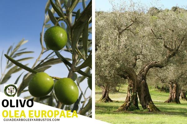 El olivo es un árbol que pertenece a la familia Oleáceas como el acebuche de hoja simples