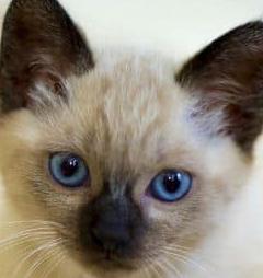 Thai Cat vs Siamese Personality, Size, Lifespan, Price