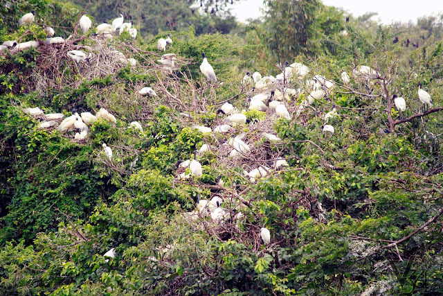 Black headed Ibis and the fruit bats in the backgroud