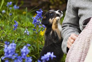 displasia em cães