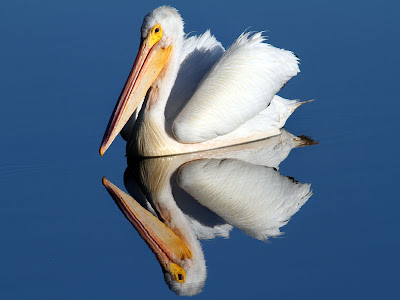 White Pelican Reflection