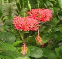 Manfaat tanaman Kembang Sepatu Sungsang