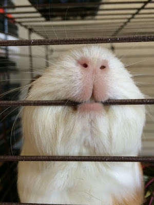 What Is My Guinea Pig Saying?