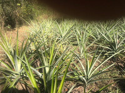 field of pineapple, Ananas comosus