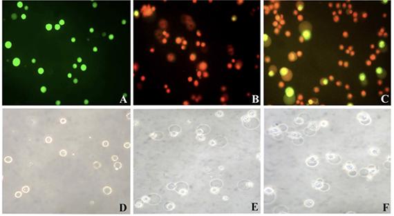 DLA cells treated with 0.1% DMSO, 25 μg/ml P. guilfoylei leaf oil