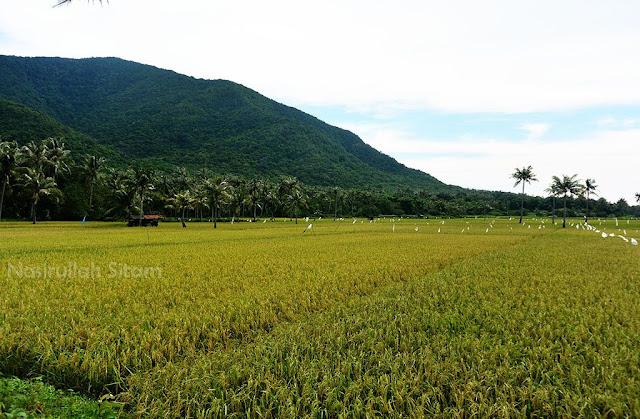 Hamparan padi di dusun Cikmas, Karimunjawa