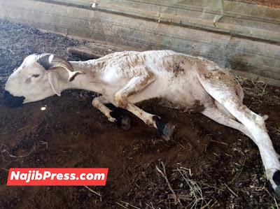 حصري وبالفيديو...نفوق قطيع من الماشية بالرحامنة بشكل فجائي + صور✍️👇👇👇
