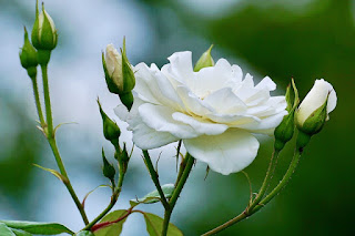wallpaper bunga mawar putih