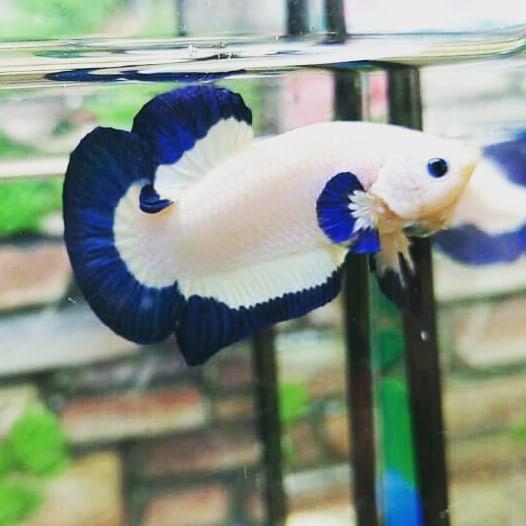 Harga Ikan Cupang Blue Rim