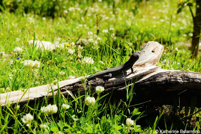 Lizard on the Plateau Samaria Gorge Hike Crete Greece