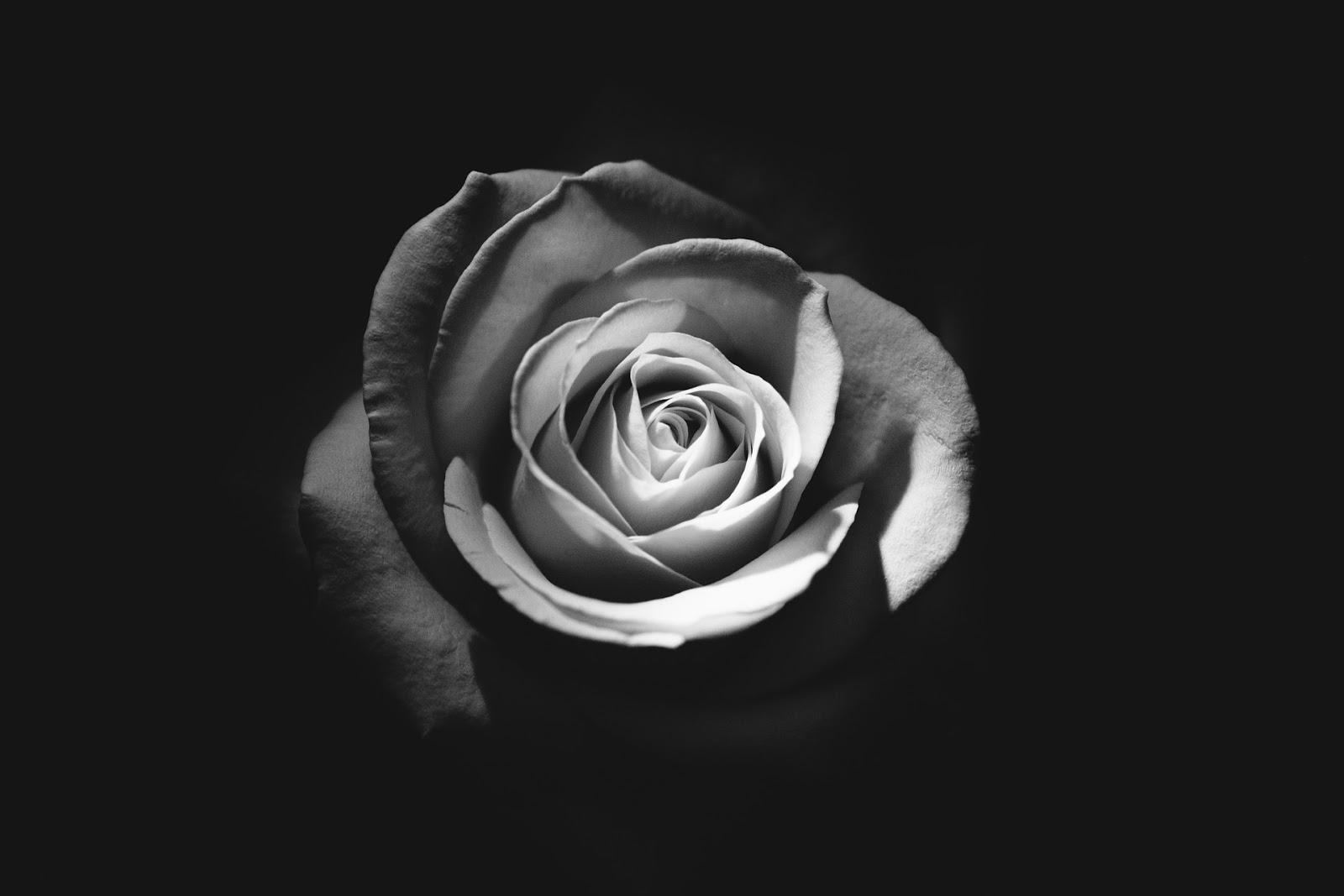 gambar bunga mawar hitam putih