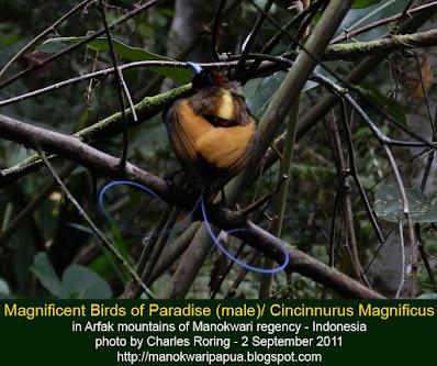 Magnificent Bird of Paradise (Cicinnurus magnificus)