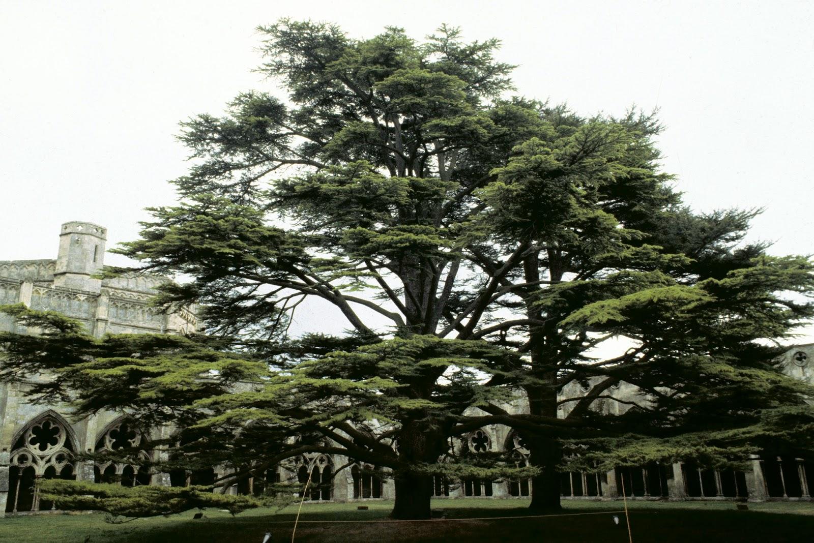 Cedars Of Lebanon ~ Trees planet cedrus libani cedar of lebanon
