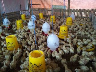 ayam broiler, ayam pedanging, budidaya ayam broiler, vitamin ayam broiler, broiler, ayam broiler