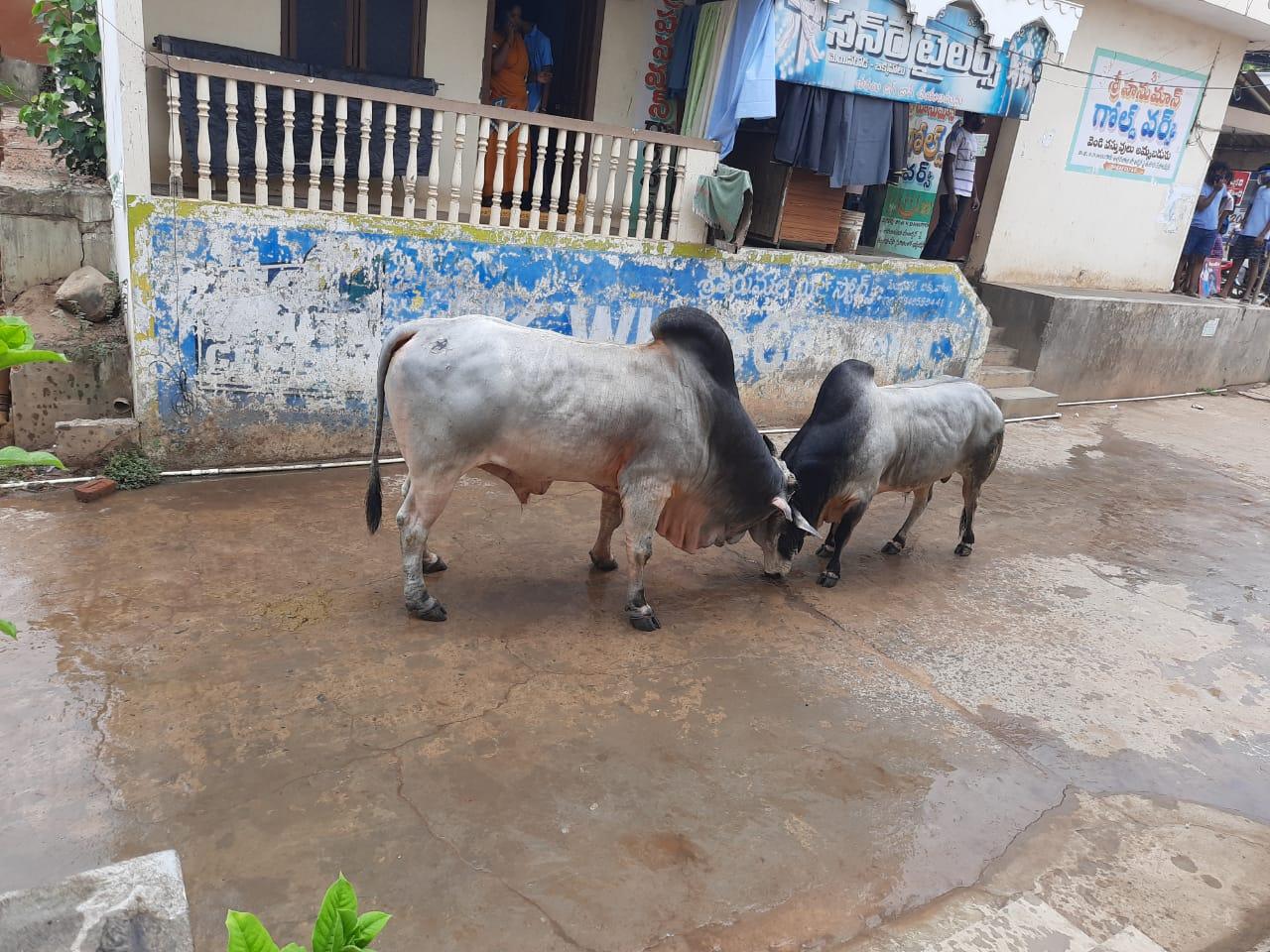 viral bull fight