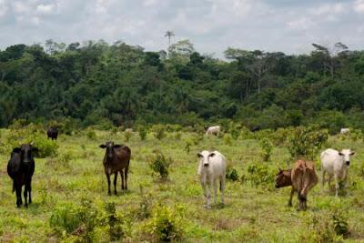 Скотовъдството е отговорно за приблизително 80% от обезлесяването на Амазонка