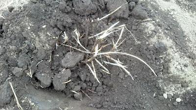 チガヤの地下茎