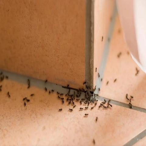 Membasmi Semut pada Tanaman