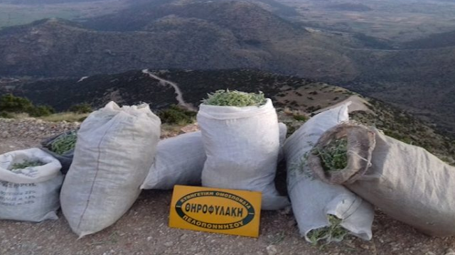 Κατάσχεση από την Θηροφυλακή και μήνυση για παράνομη συλλογή τσάι του βουνού